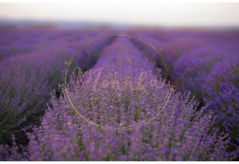 Lavender Fields. Rows Of Lavender Plants Blossoming In A Farm. Close Up Of Lavender Rows - DIGITAL DOWNLOAD PHOTOGRAPHY