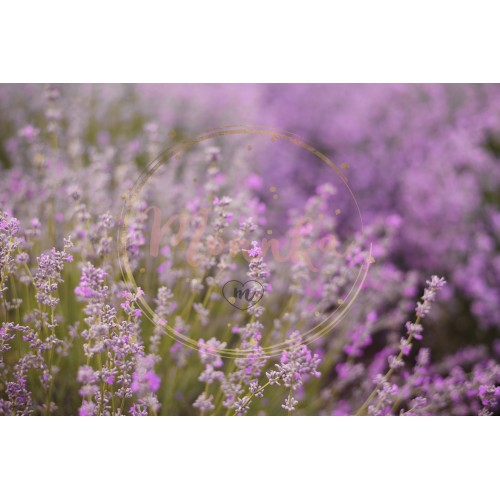 Close up of lavender. Blurred background. Lavender fields. Purple blurred background - DIGITAL DOWNLOAD PHOTOGRAPHY